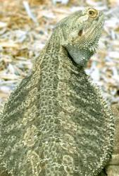De Western Bearded Dragon in Naples Zoo, Florida, USA